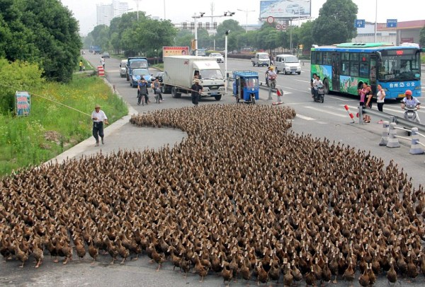 5,000 ducks block traffic on their way to feed in Zhejiang province, China - 17 Jun 2012